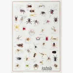 Εκπαιδευτικές Αφίσες - Arachnids