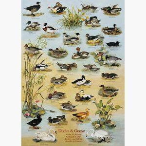 Εκπαιδευτικές Αφίσες - Ducks and Geese