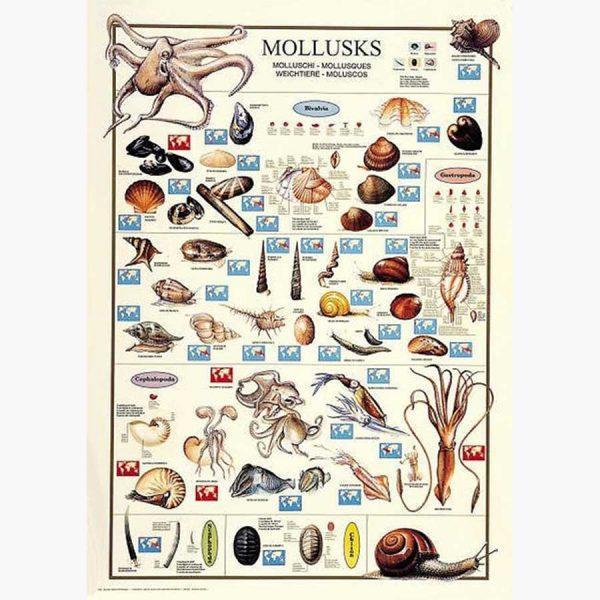 Εκπαιδευτικές Αφίσες - Mollusks