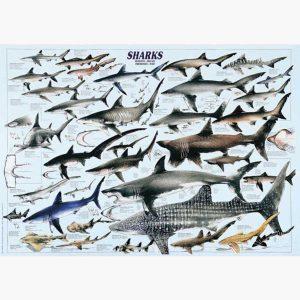 Εκπαιδευτικές Αφίσες - Sharks