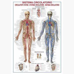 Εκπαιδευτικές Αφίσες - Circulatory System