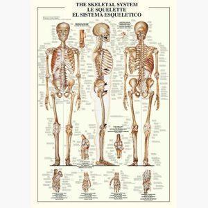 Εκπαιδευτικές Αφίσες - The Skeletal System