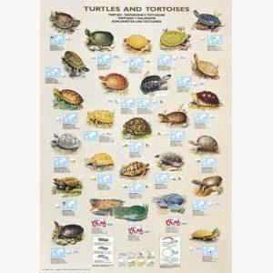 Εκπαιδευτικές Αφίσες - Turtles and Turtoises