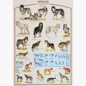 Εκπαιδευτικές Αφίσες - Wolves